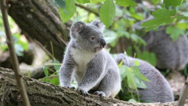 Poo transplants are helping koalas eat a wider range of leaves and possibly survive habitat loss.