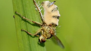 The fungus kills the fly and then grows out of its abdomen.