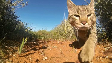 Feral cats inhabit 99.8 per cent of the continent.