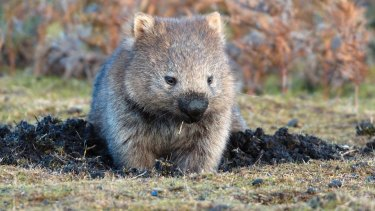 An inquiry has been launched into the hunting of wombats.