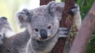 Koala reservations planned for NSW  have been criticised by environmental groups.