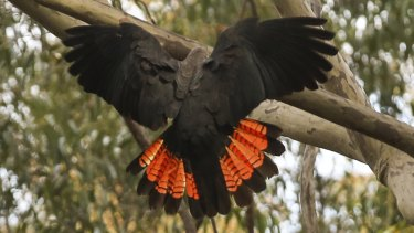 Glossy black cockatoos are now listed as vulnerable due to habitat loss from the black summer bushfires.