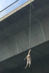 A deer hanging from Alfords Point Bridge.