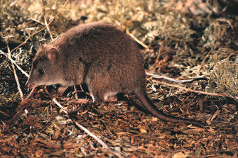 Scientists fear the long-footed Potoroo may be extinct in the wild due to the fires ravaging Australia's south-east coast.