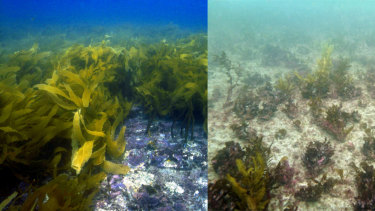 Before and after the 2011 marine heatwave off the WA coast and its effects on kelp.