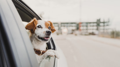 'Unadulterated happiness, mixed with a reckless passion for even more speed': why your dog loves road trips