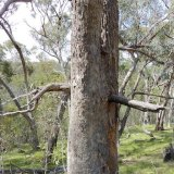 Tree near Horse Gully Hut in Namadgi National Park.