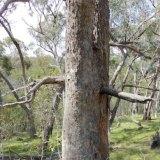 Tree near Horse Gully Hut in Namadgi National Park.