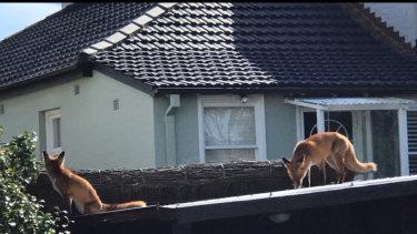 Fox sightings in suburban Sydney are increasing thanks to plentiful food supplies.