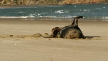 This photo of a sea lion on a New Zealand beach was found on a USB stick swallowed by a leopard seal.