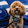 The Canberra open air cinema where dogs are welcome