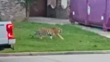 Video of a tiger wandering free in Houston triggered a police search.