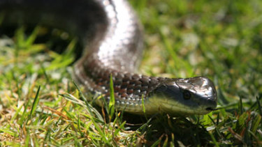 February and March are peak breeding periods for snakes, including the tiger snake.
