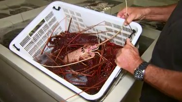 Official lobster sales to China have slumped by 99 per cent this year to April from the same period last year.