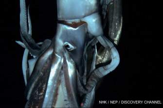 This image made from video recorded in deep sea off Chichi island, Japan, in 2012, is the only other time a giant squid has been filmed.