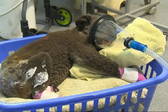 A koala, dubbed 'Peter' at the Koala Hospital Port Macquarie, was found injured at the Lake Innes Nature Reserve after bushfires.