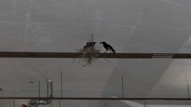 A pied currawong nest seen in an Aspley shopping centre car park.