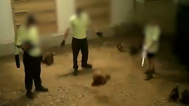 'Hate it when their heads come off': footage reveals cruelty at egg farm
