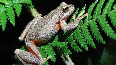 Watsons tree frog