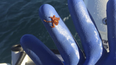 Perth fisher Peter Hudson pulled up this small but deadly octopus in one of his craypots earlier this month.