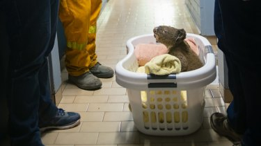 The koalas are bundled in laundry baskets with blankets and provided with eucalyptus leaves while they recover.