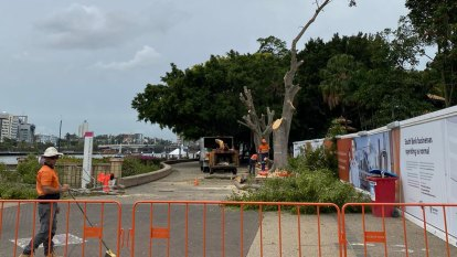 South Bank trees felled as Neville Bonner Bridge work under way