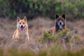 How much is ancestral and how much is hybridisation? Researchers are yet to determine what role recent mixing has in creating the different colour coats of dingoes.