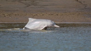 Australian humpback dolphins feed by chasing their prey onto a muddy bank, beaching themselves in the process.