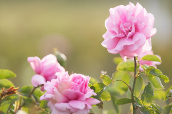 The Jurlique rose was bought by the beauty company in 2015 to celebrate its 30th birthday.