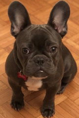 Brisbane Bullets recruit Lamar Patterson's French bulldog, Kobe.