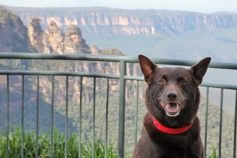 Red Dog star Koko on a visit to the Blue Mountains.