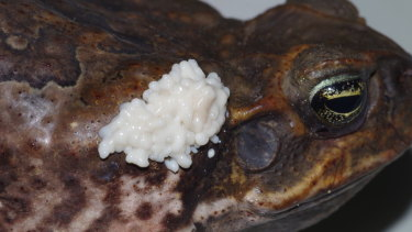 Cane toad venom is extremely potent, but only deployed as a last resort.