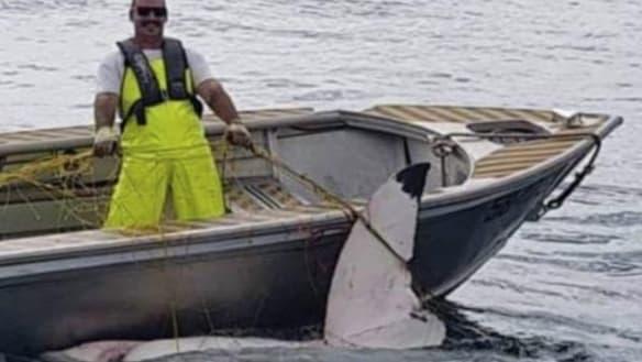 Shark net snags great white off popular Sydney surf beach