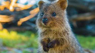 New National Geographic film Rottnest Island: Kingdom of the quokka reveals the secret lives of the marsupial.