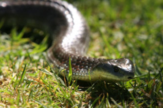 A tiger snake bite can cause a dog to die within 30 minutes to two hours if not taken into the vet.