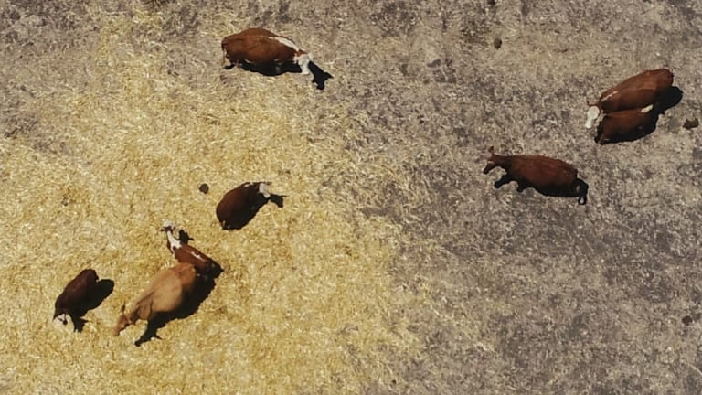 Cattle in the Hunter needed help during the current long, dry spell.