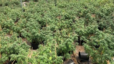 Massive cannabis bust north-east of Perth