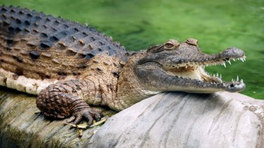 Residents have been warned not to go near the crocodiles (file image).