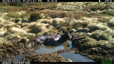 A Sambar deer stag stuck in mud in the Alpine National Park.