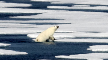 The Arctic is suffering dramatic loss of sea ice. A polar bear climbs out of the water in the Franklin Strait in the Canadian Arctic Archipelago.
