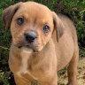 Police warn WA puppy buyers after 'fraudulent' online sales
