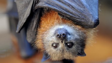 The bat, which subsequently died, was sent for testing and was found to be positive. (File image)
