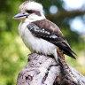 Man may be charged after tearing off kookaburra's head at WA tavern