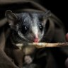 State government loggers to appeal possum court win