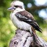 Man may be charged after tearing off kookaburra's head at WA tavern