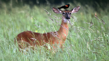 A red-winged blackbird perches atop a white-tailed deer in the tall grass.