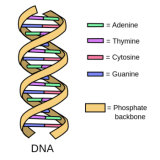 DNA is made up of two strands that pair together via four bases into an iconic double-helix structure.