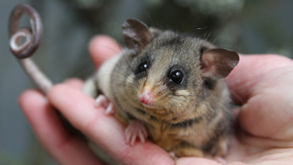 Turn off a light, guide a moth and save an endangered possum