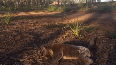 Koala and the impacts of land clearing for new residential