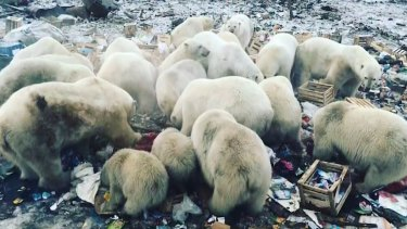 Novaya Zemlya, a Russian archipelago, has been invaded by a bunch of polar bears looking for food. Observers blame climate change.